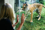 up-close-encounter-with-tiger